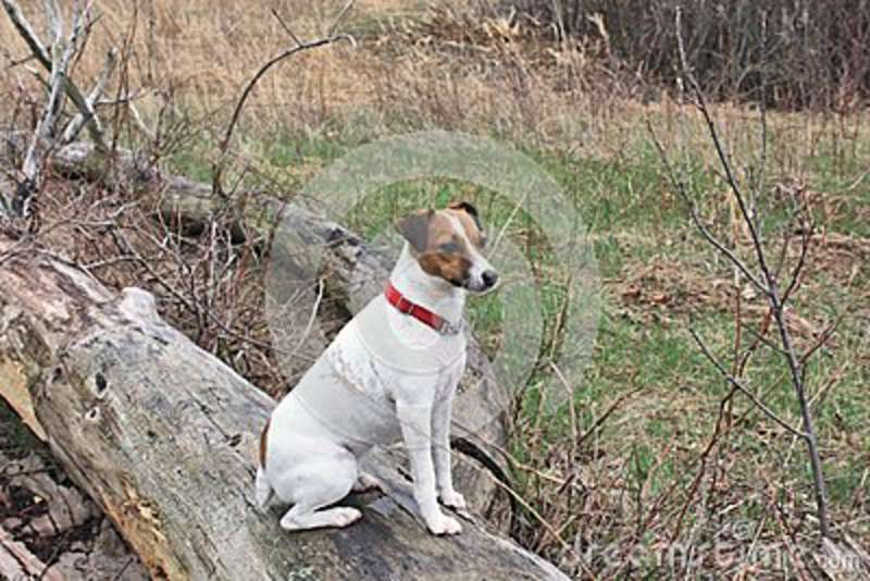 Jack Russell In Deep Doggy Contemplation