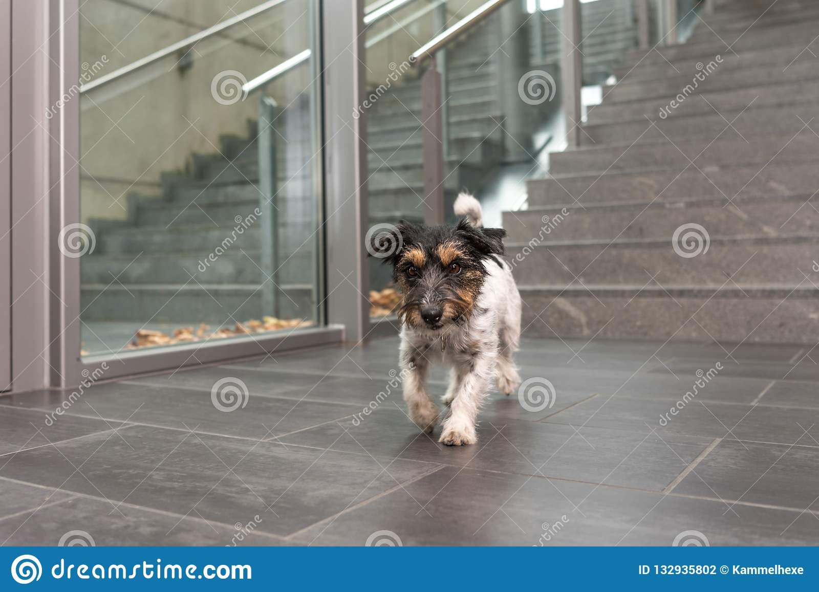 Jack Russell dog ist running in a public building