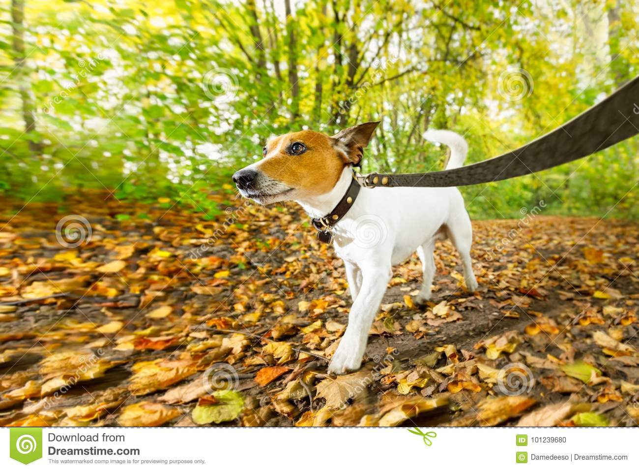 Dog running or walking in autumn