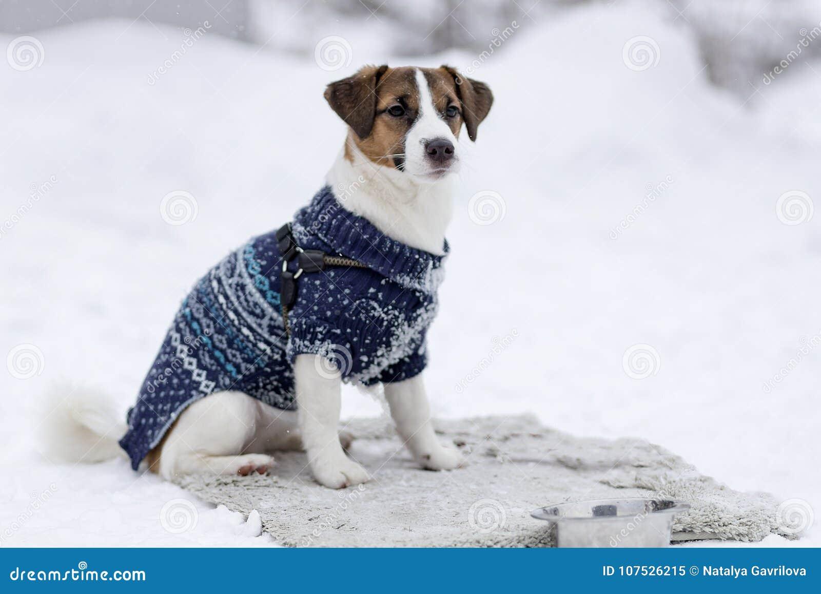 Jack Russell en ropa del invierno