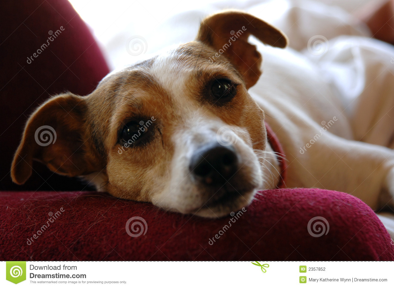 Jack Russell Face Stock Photography Image 2357852