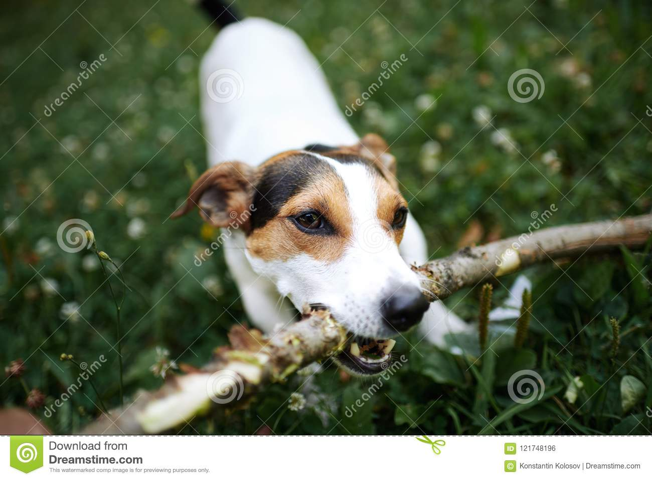 Jack russell fight over stick