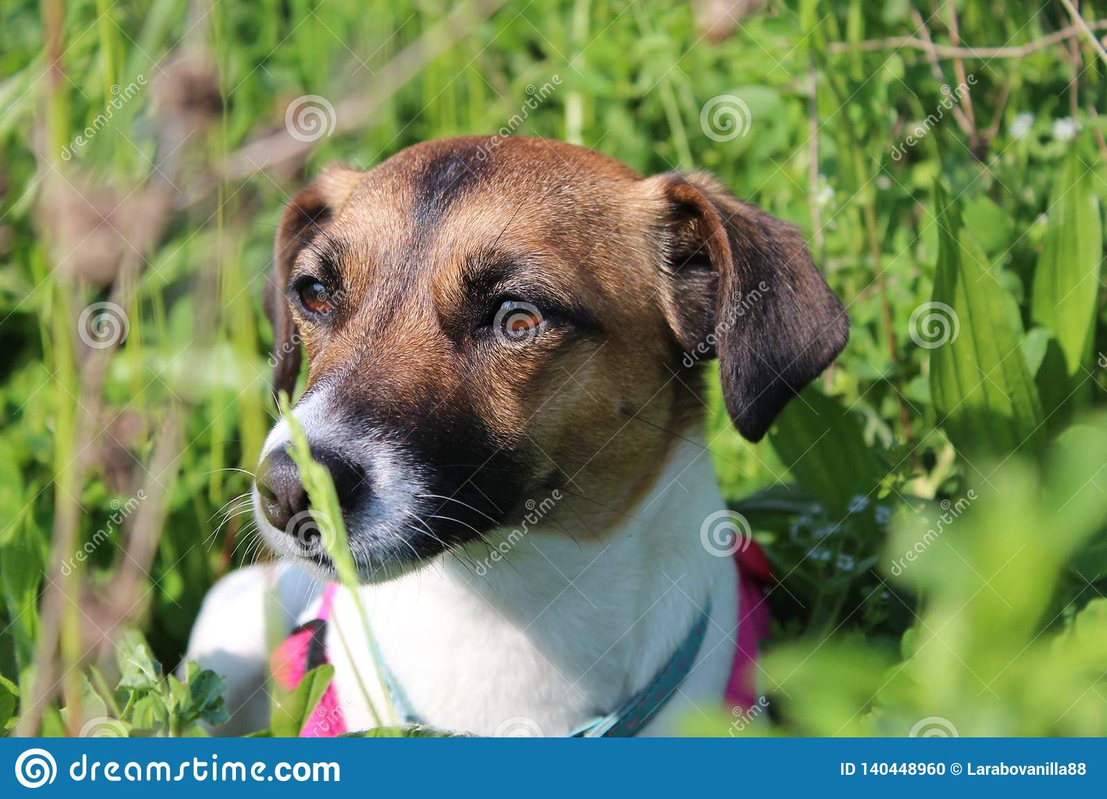 Jack russell in a green meadow