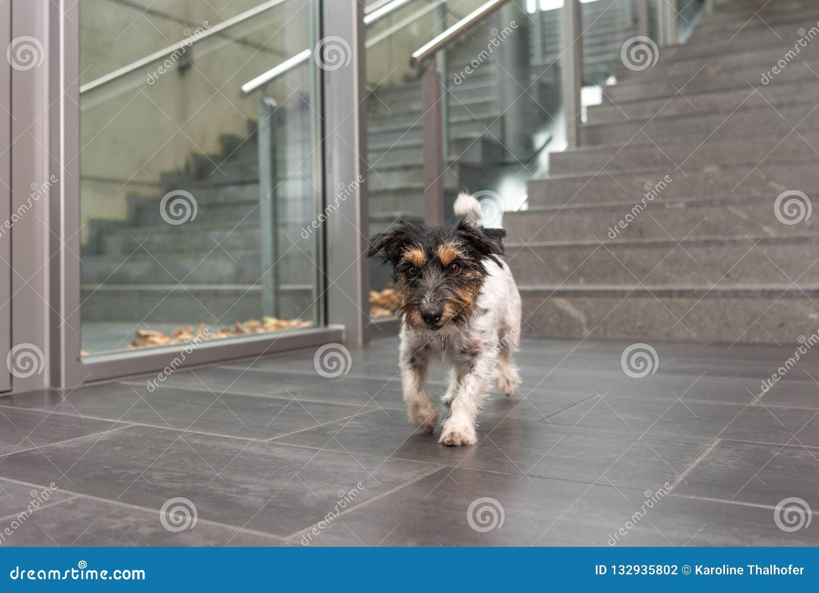Jack Russell-Hundist, die in ein öffentliches Gebäude laufen