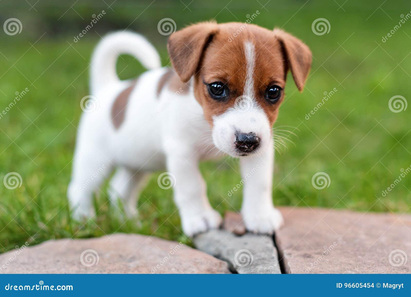 Ogromny Jack Russell Pies Na Trawy łące Mały Szczeniak Chodzi W Parku GR91