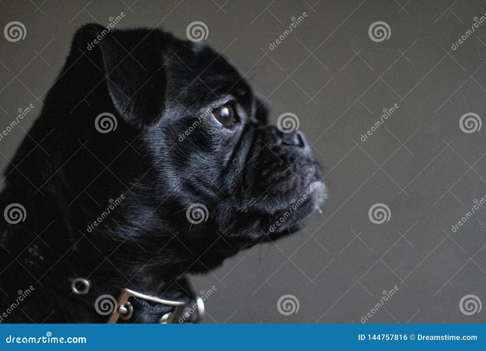 Jack Russell Pug