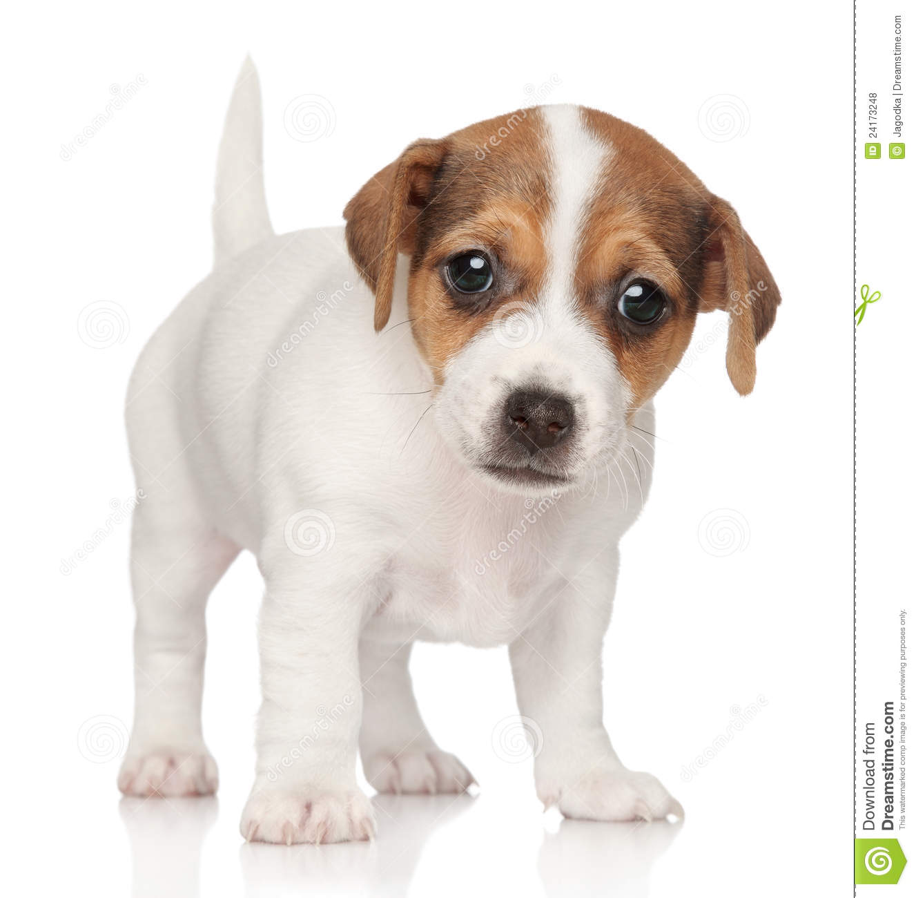 Russell Puppy 1 Month Royalty Free Stock Photos Image 24173248