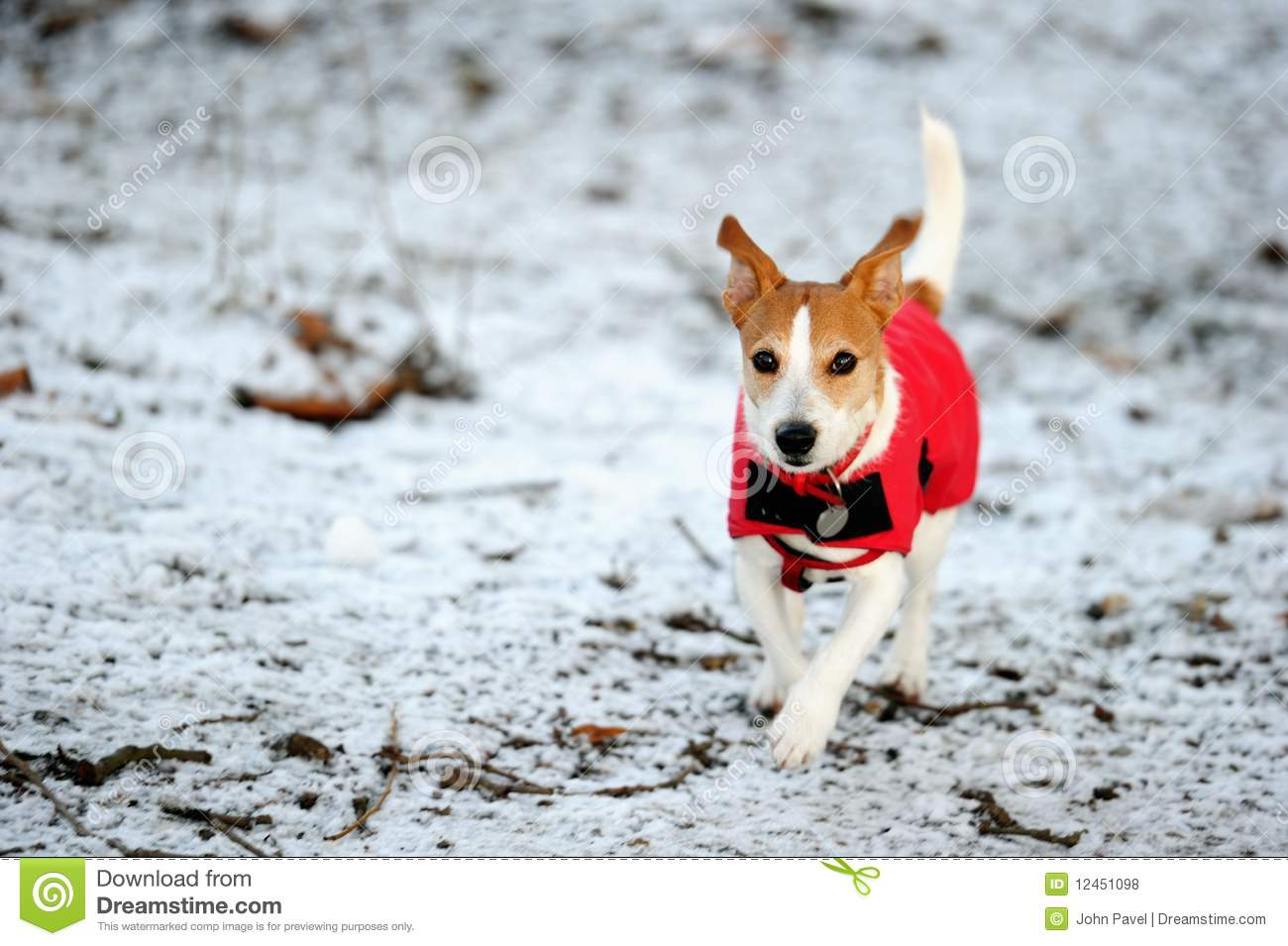 Jack Russell Running In Red Winter Coat Royalty Free Stock