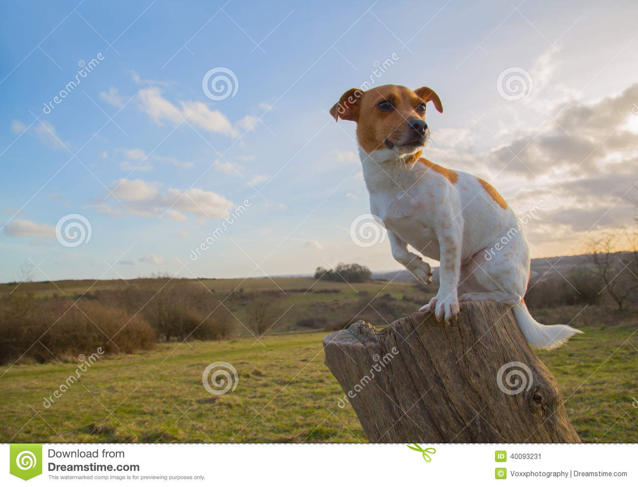 Jack Russell Sitting On Log