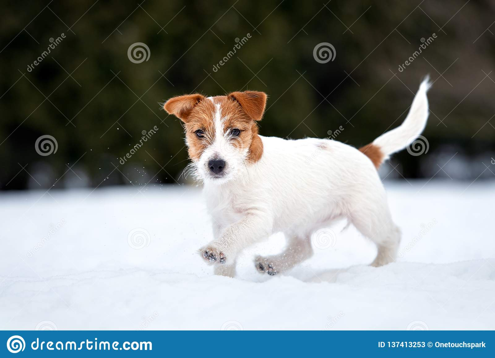 Jack Russell teriera szczeniak bawić się outdoors w zimie
