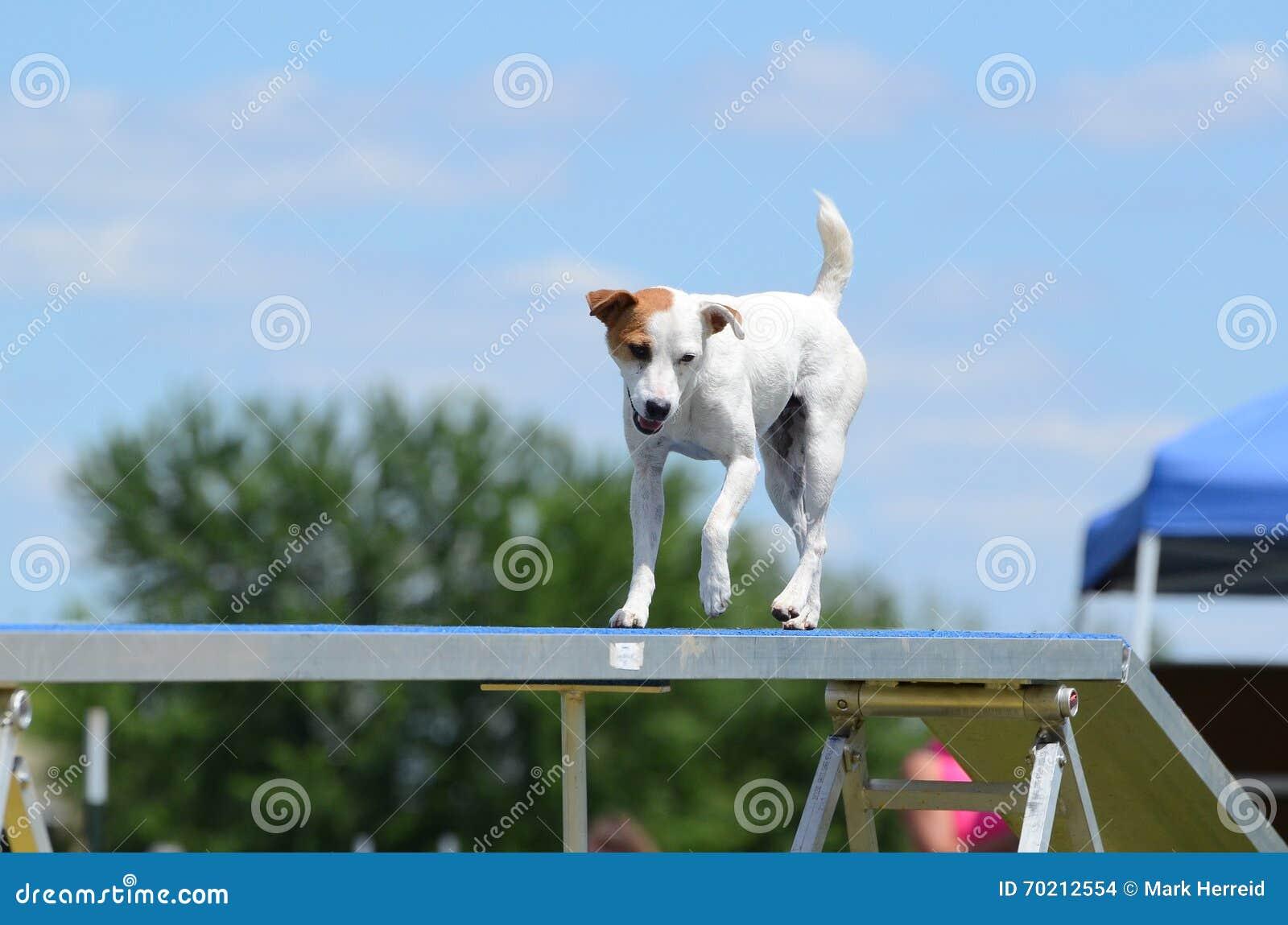 Jack Russell Terrier alla prova di agilità del cane