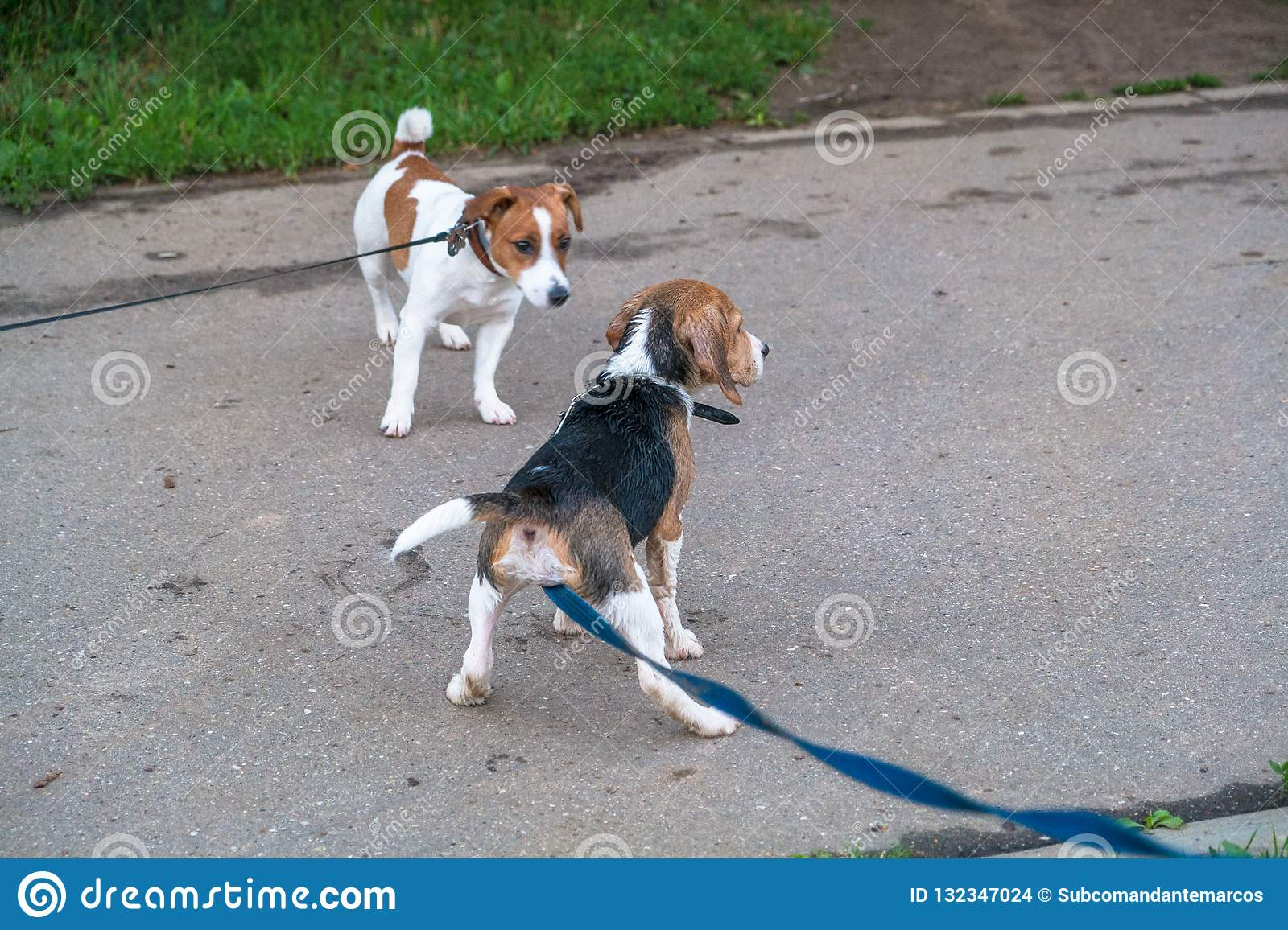 Russell The Puppy In City Beagle A Jack Terrier And For Walk xBoeWdrC