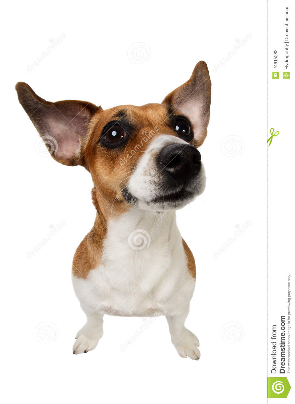 jack russell terrier with big ears stock photos   image