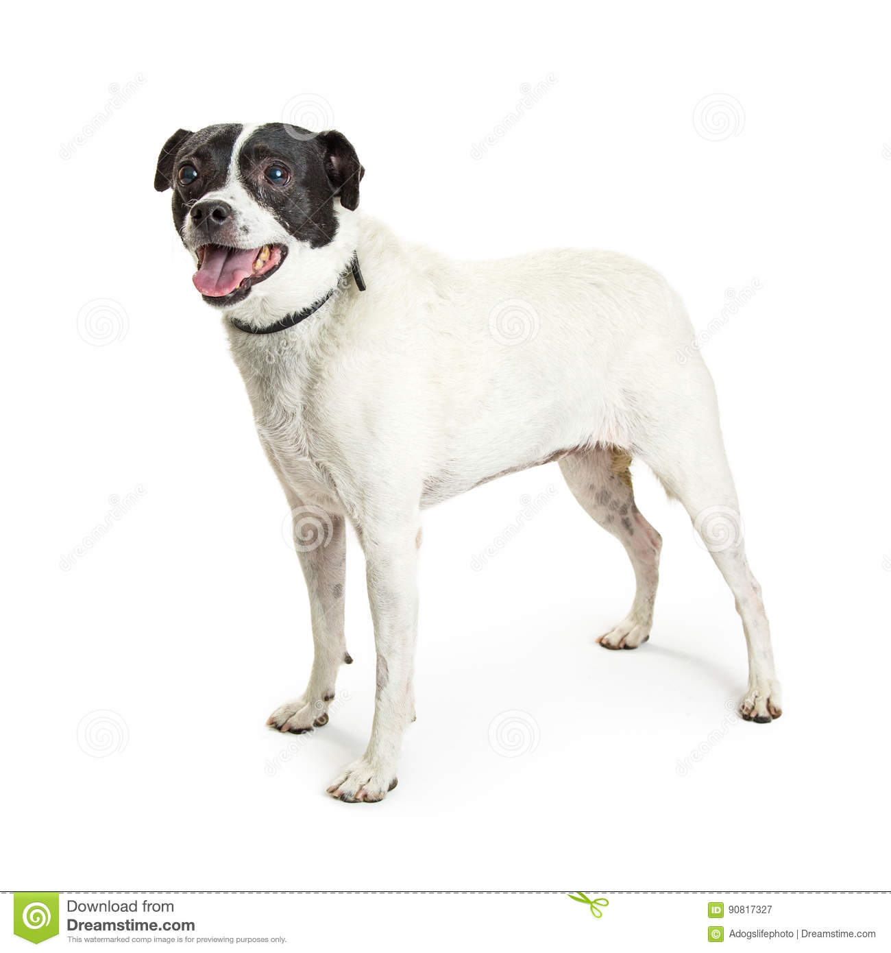 Jack Russell Terrier Crossbreed Dog no branco