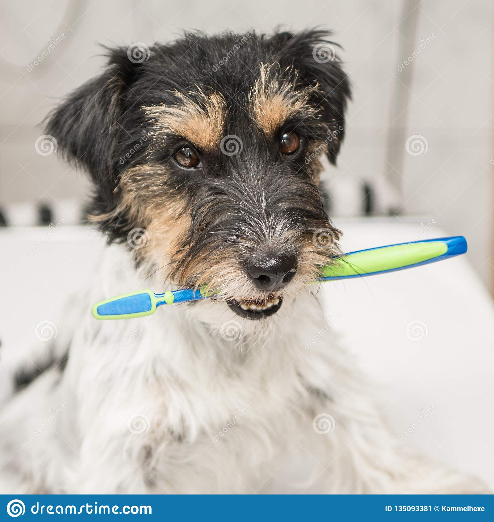 Jack Russell Terrier dog holding toothbrush . Ready to brush the teeth to avoid the need for a dentist