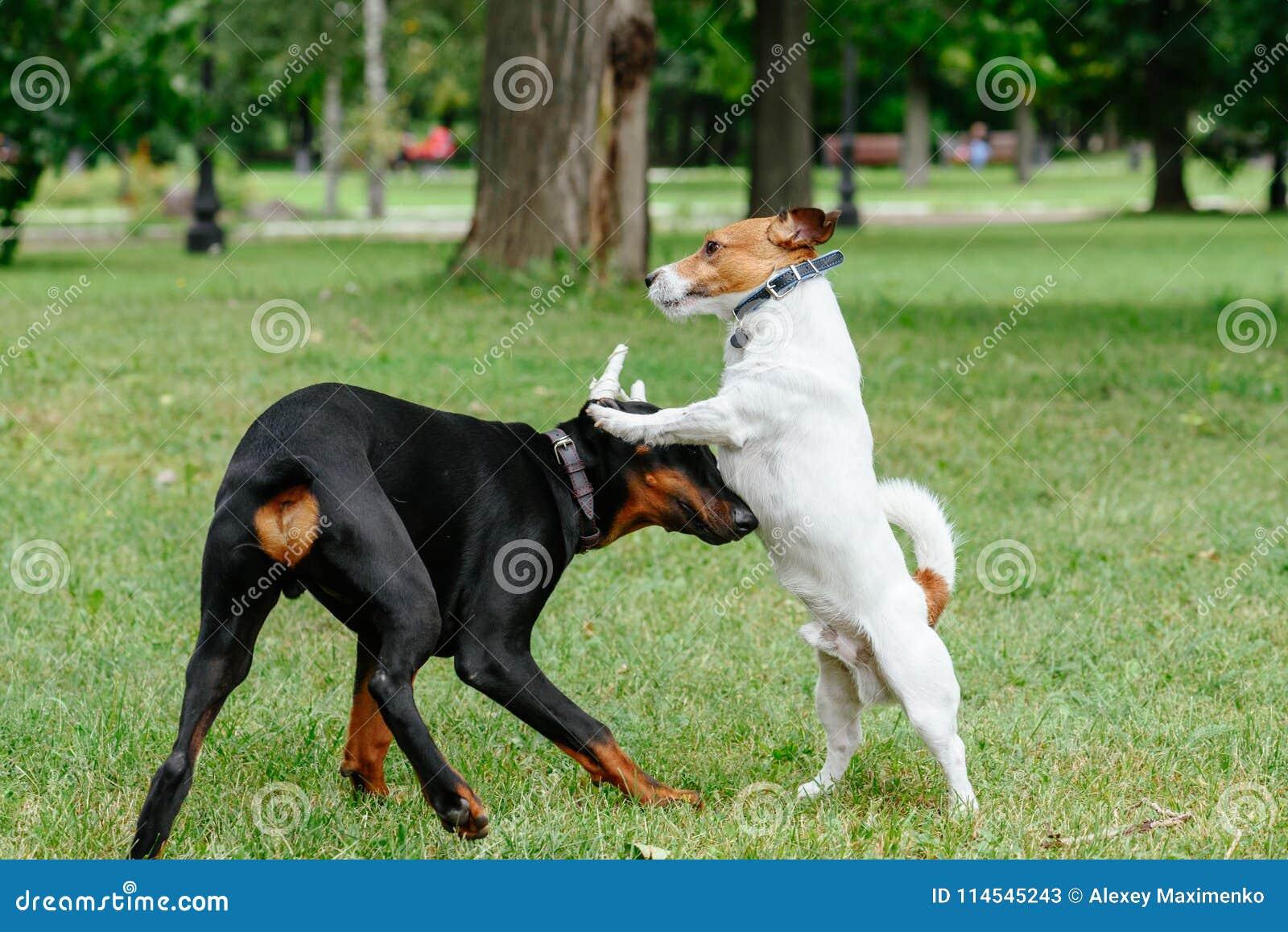 Jack Russell Terrier Dog Playing With Playful Doberman Pinscher