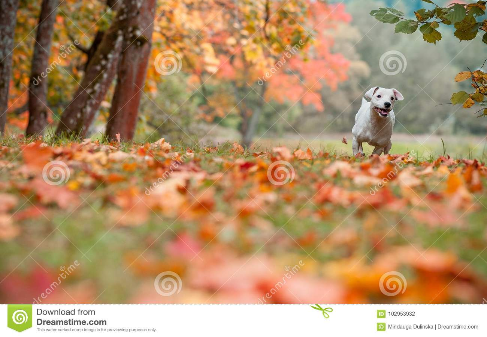 Jack Russell Terrier Dog Running heureux sur l herbe feuilles d automne à l arrière-plan