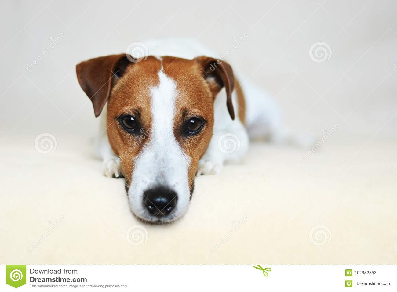 Jack Russell Terrier Dog with Sharp Puppy Dog Eyes