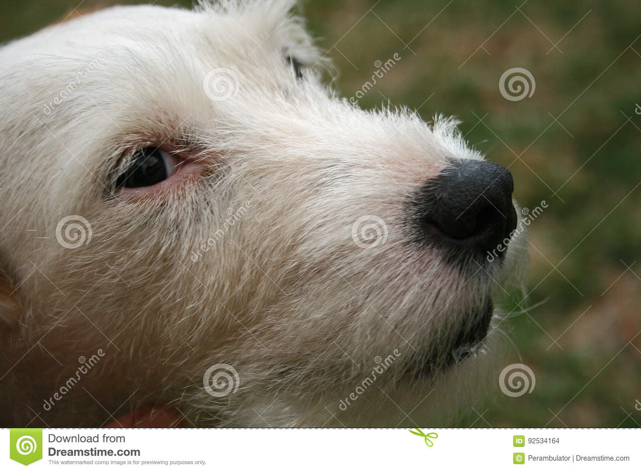 JACK RUSSELL TERRIER FACE