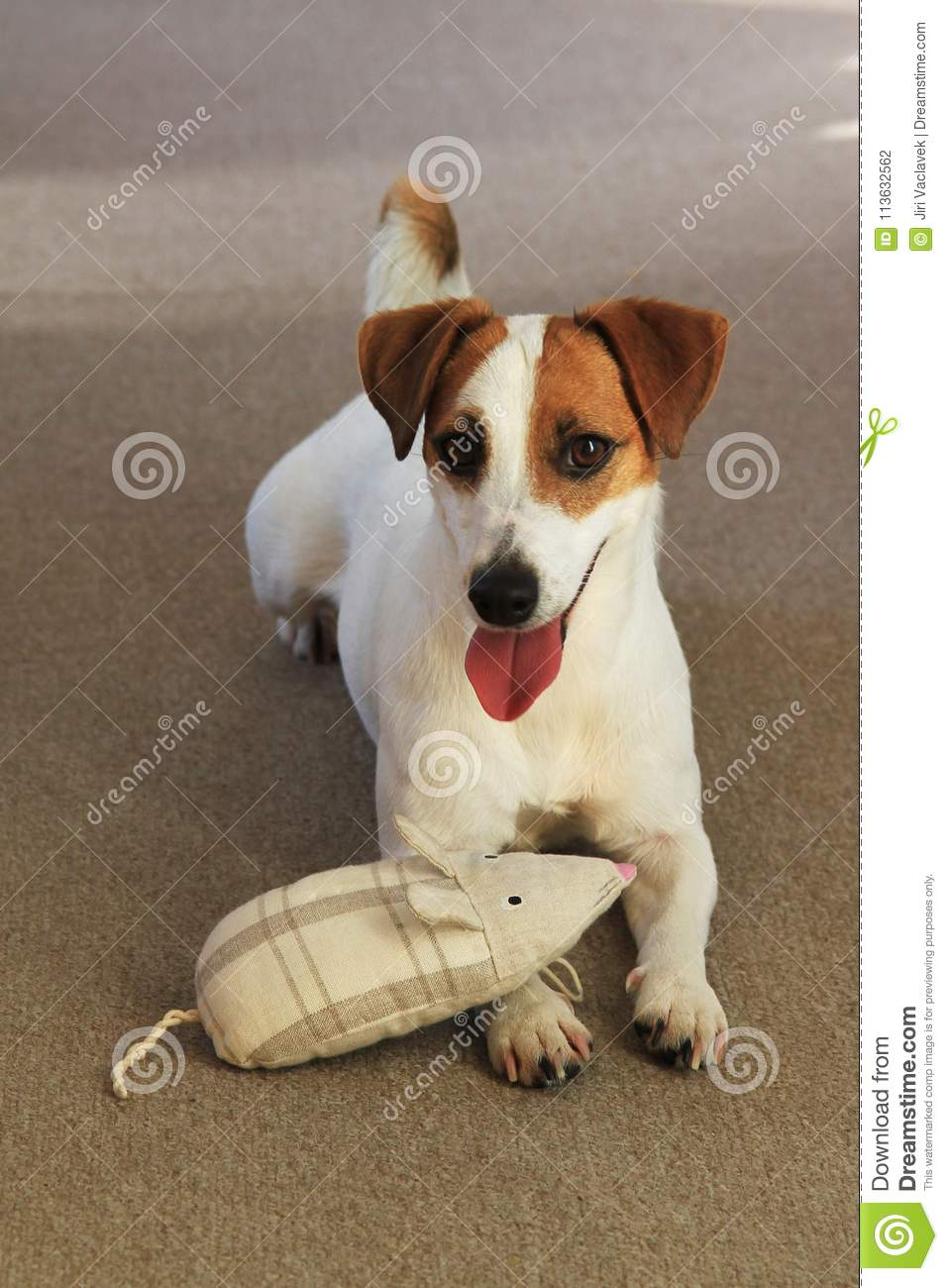 Jack russell terrier stock photo  Image of play, jack