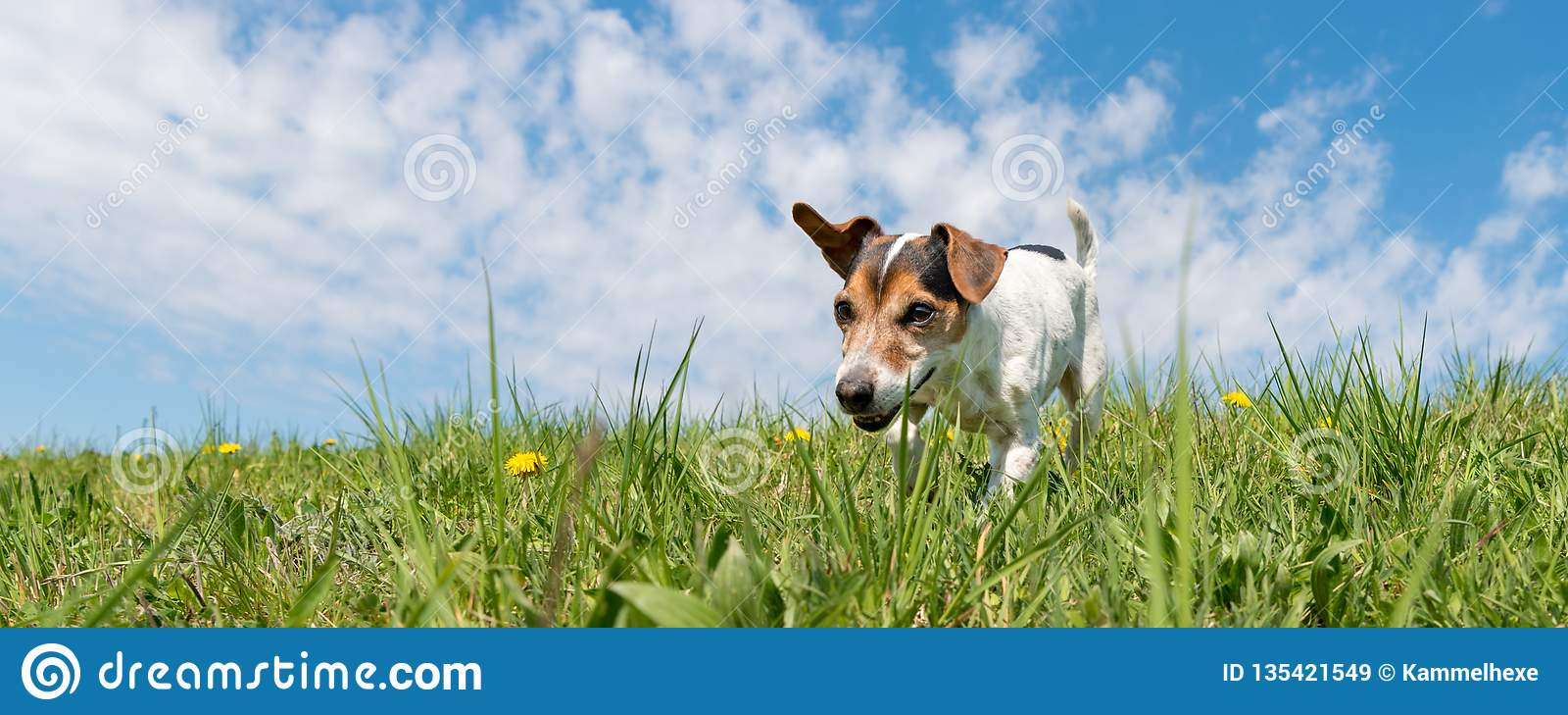 Jack Russell Terrier hund på en äng som är främst av blå himmel