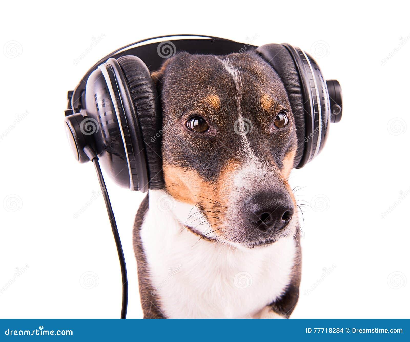 Jack Russell-Terrier mit Kopfhörern auf einem weißen Hintergrund