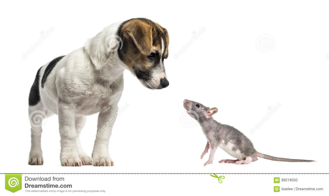 Jack Russell Terrier, 4 months old and young hairless rat
