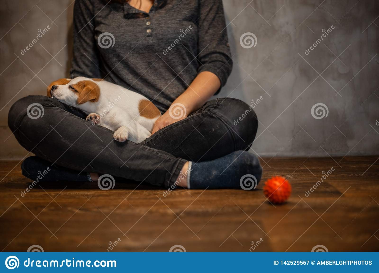 Jack Russell Terrier Puppies Climbed Onto The Girl`s Knees