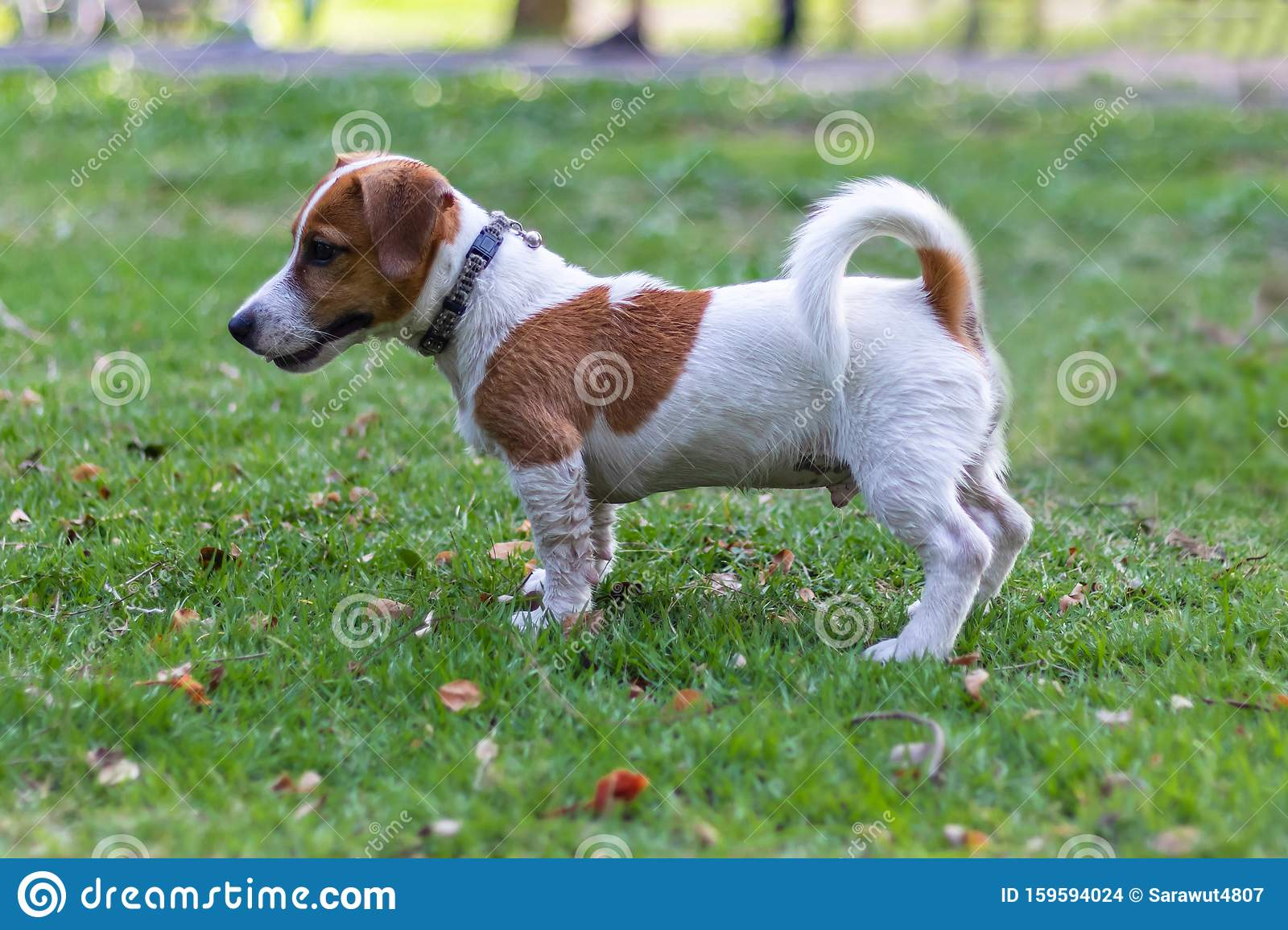Jack Russell Terrier Puppies Playing The Green Park Stock Photo Image Of Green Brown 159594024