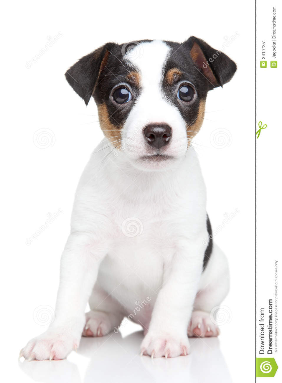 Cute Jack Russell terrier puppy sits on a white background.