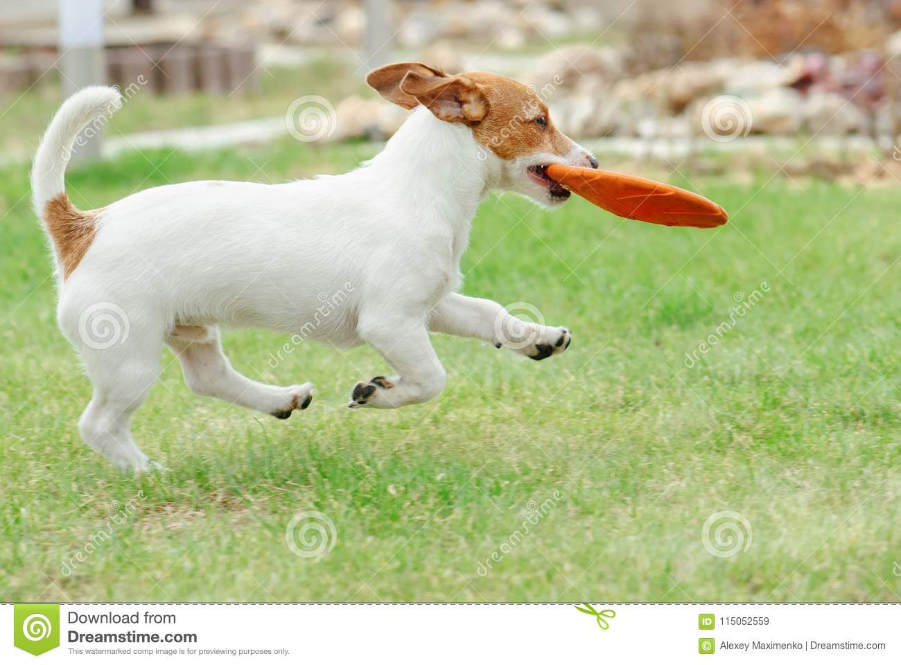 Cute Young Puppy Of Jack Russell Terrier Dog Running With Flying