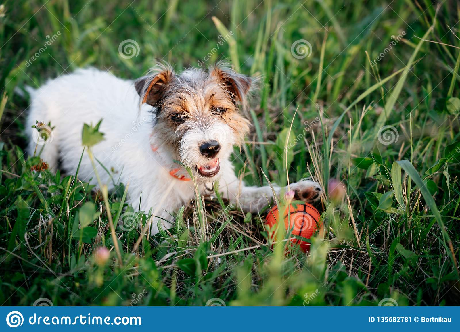 Jack Russell Terrier Puppy With Long Hair Stock Image Image Of