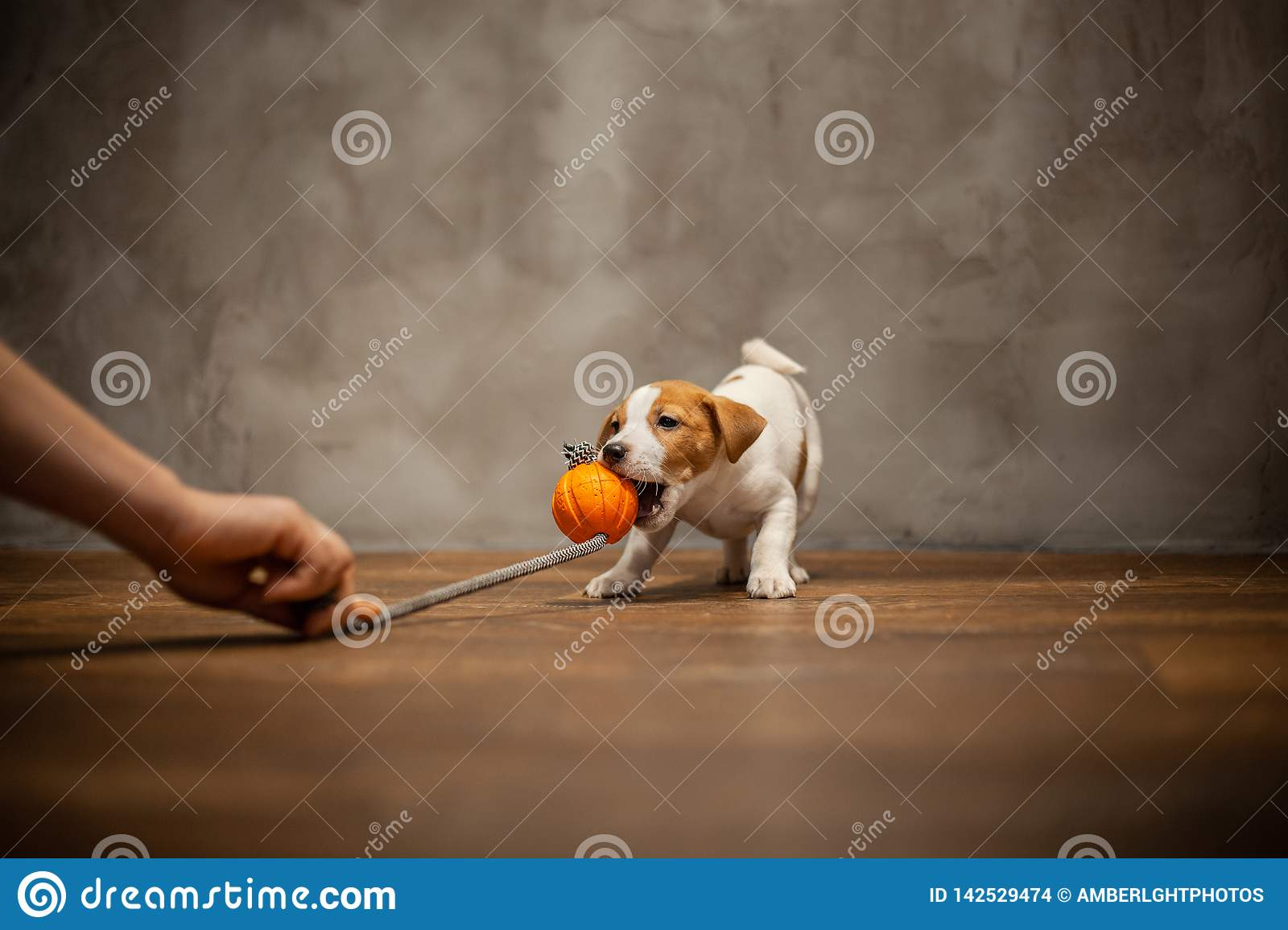 Jack Russell Terrier Puppy Pulls Teeth With An Orange Toy