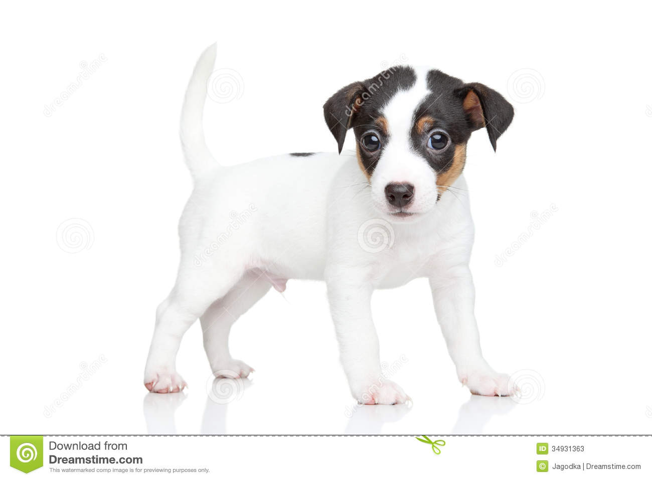 jack russell terrier black and white - photo #25