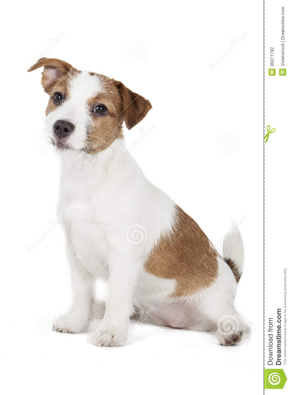 Jack Russell Terrier Puppy Stock Photography - Image: 36071782
