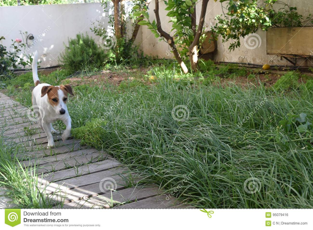 Jack Russell Terrier in the yard
