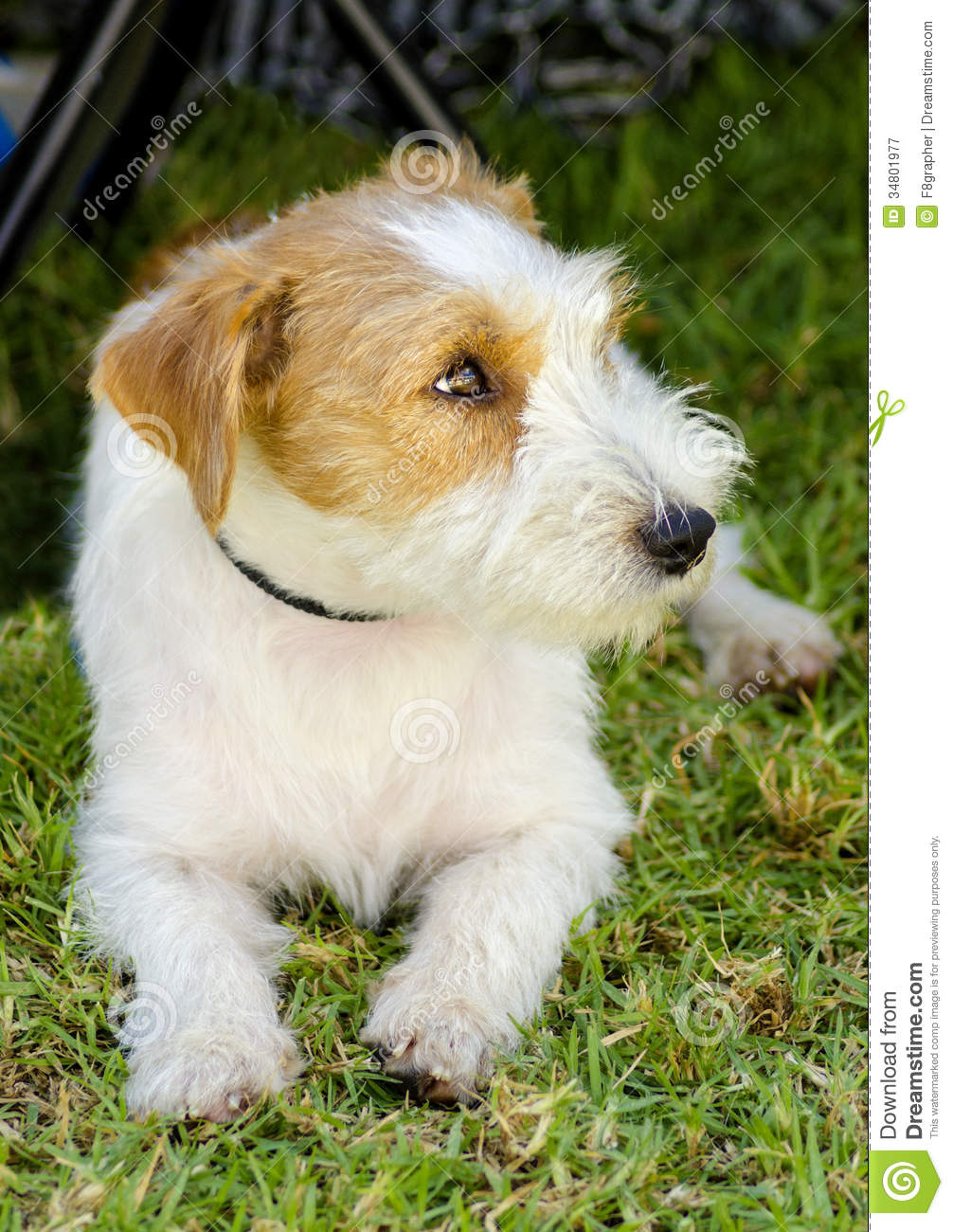 small white and tan rough coated Jack Russell Terrier dog sitting on ... White Parson Russell Terrier