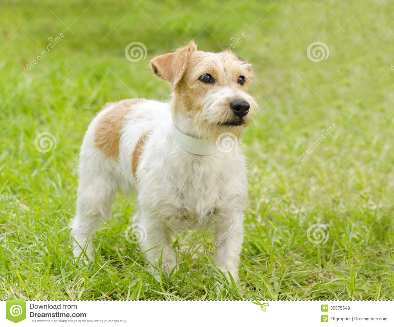 Jack Russell Terrier Royalty Free Stock Images - Image ...