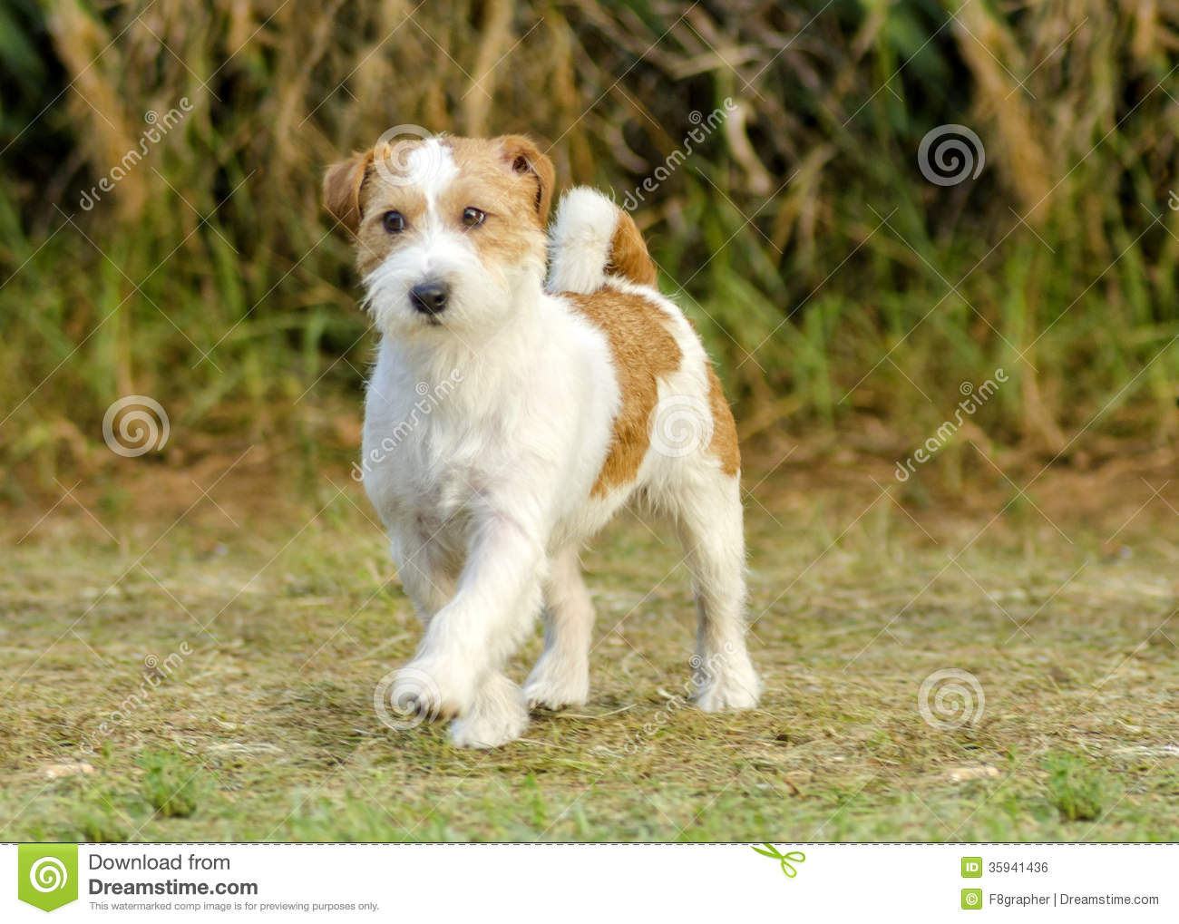small white and tan rough coated Jack Russell Terrier dog walking on ... White Parson Russell Terrier