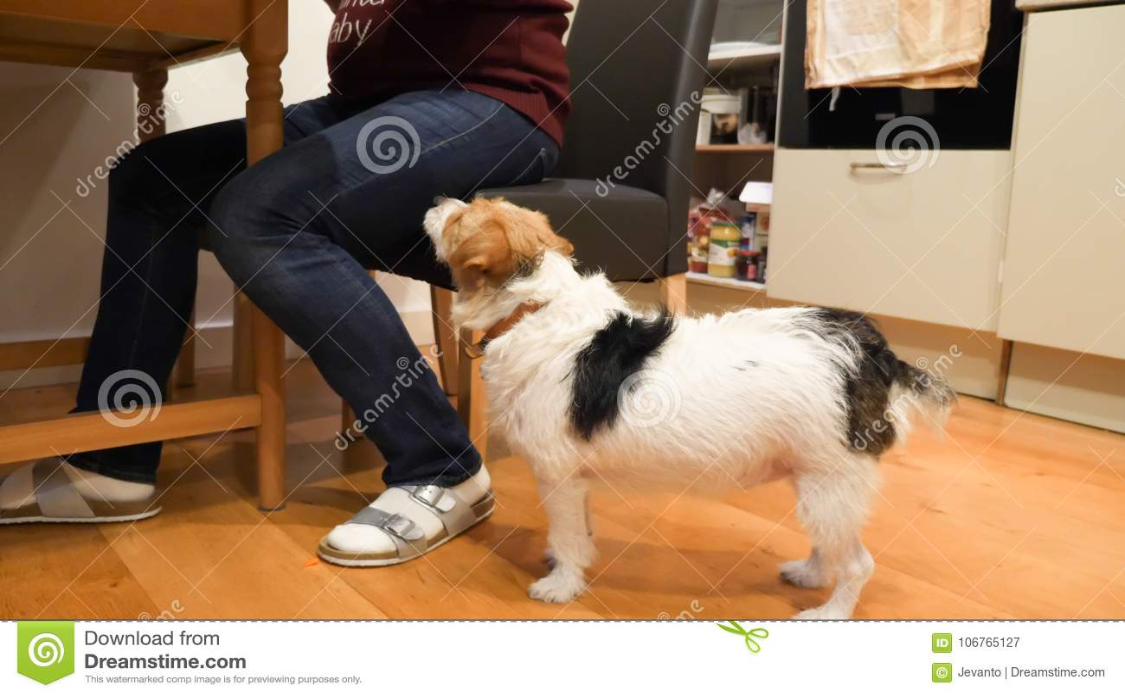 Jack Russell Terrier väntande på fest bredvid ledar- sammanträde på tabellen på trägolv hemma