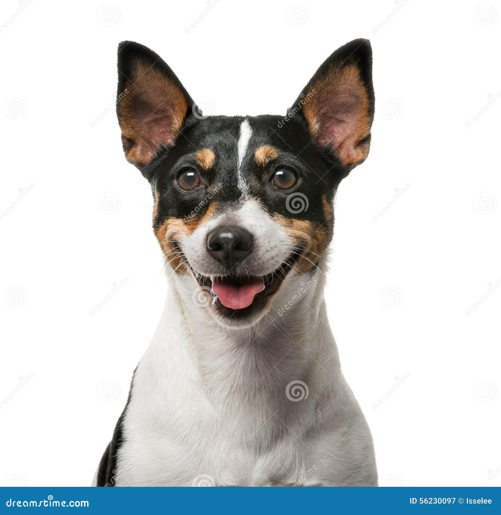 Jack Russell Terrier vor einem weißen backgroun
