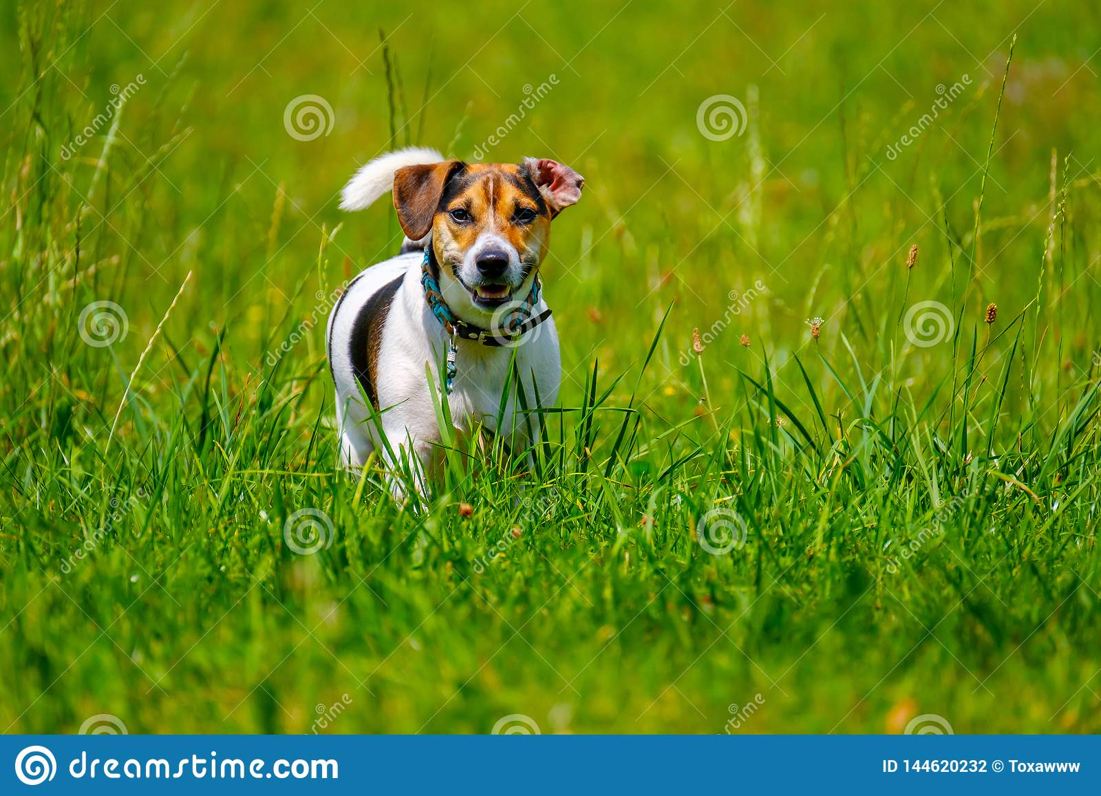 Jack russell terrier walks in the summer