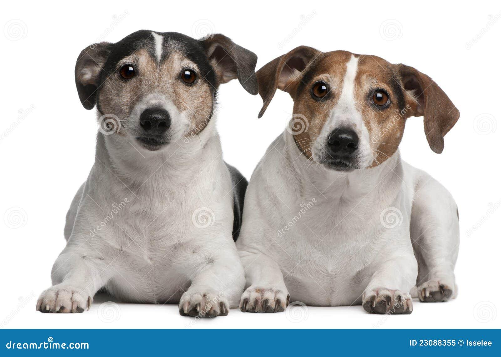 Jack Russell Terriers, 6 en 12 jaar oud, het liggen