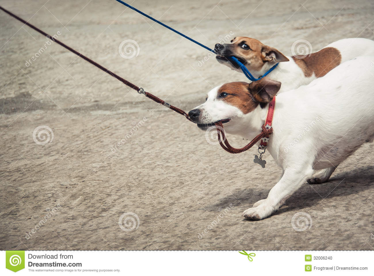 Jack Russell Terriers Stock Photo Image 32006240