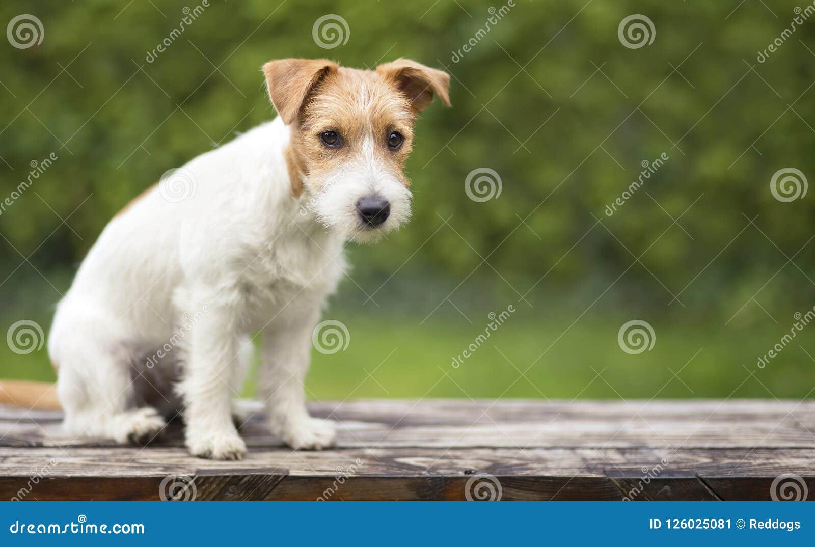 Jack Russell zwierzęcia domowego szczeniaka śliczny obsiadanie na ławce