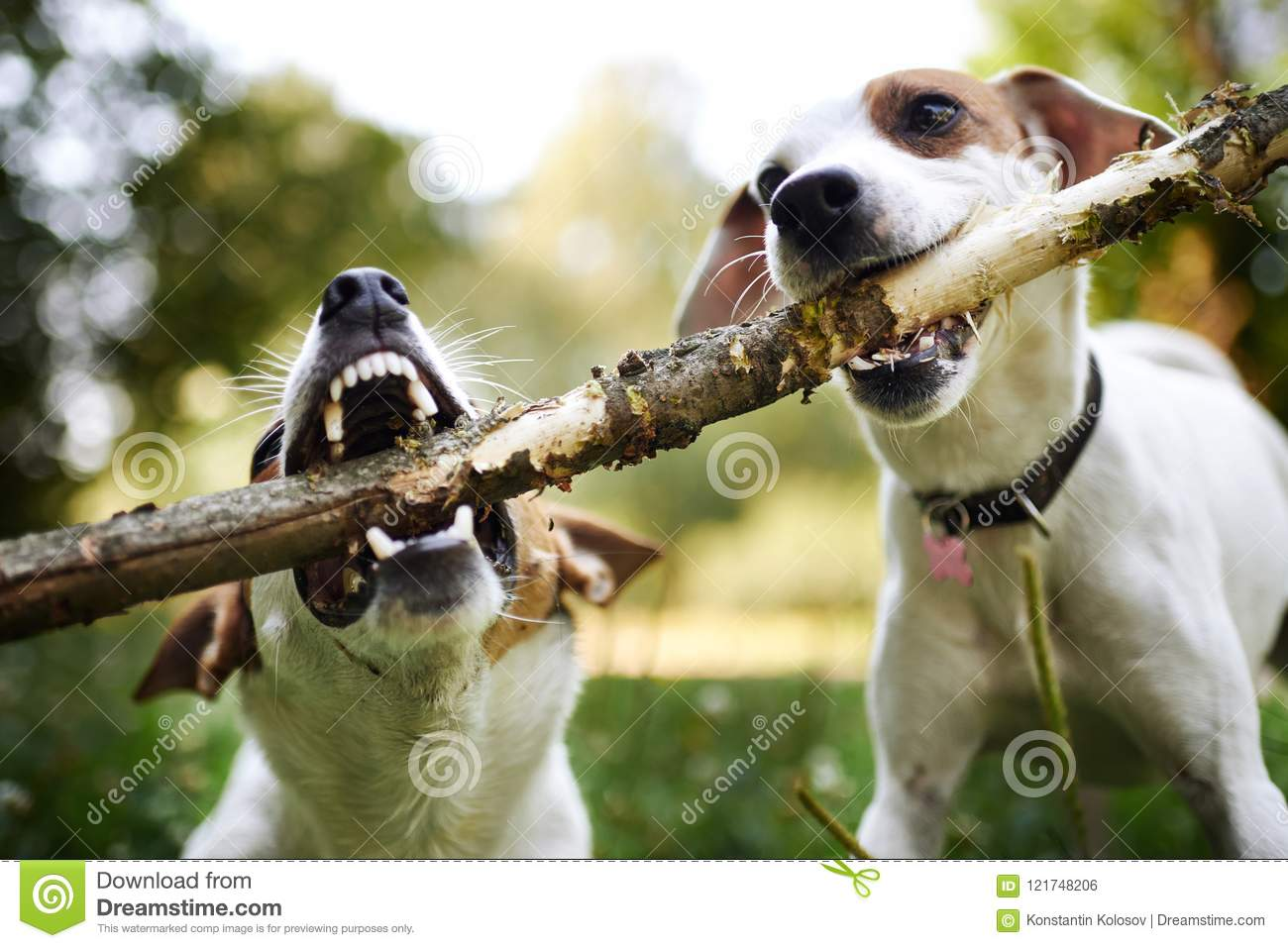 Jack russells fight over stick