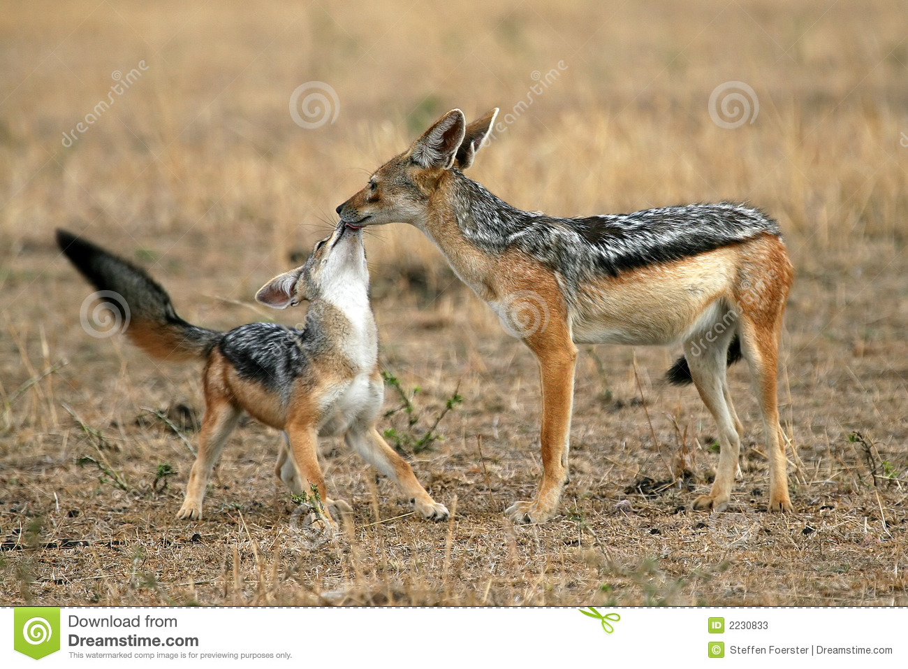Jackal and Pup