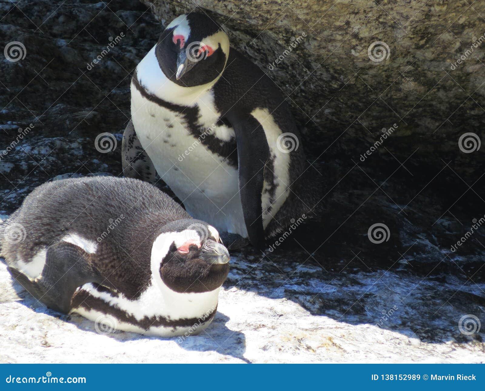 penguins on boulder beach, Simons Town
