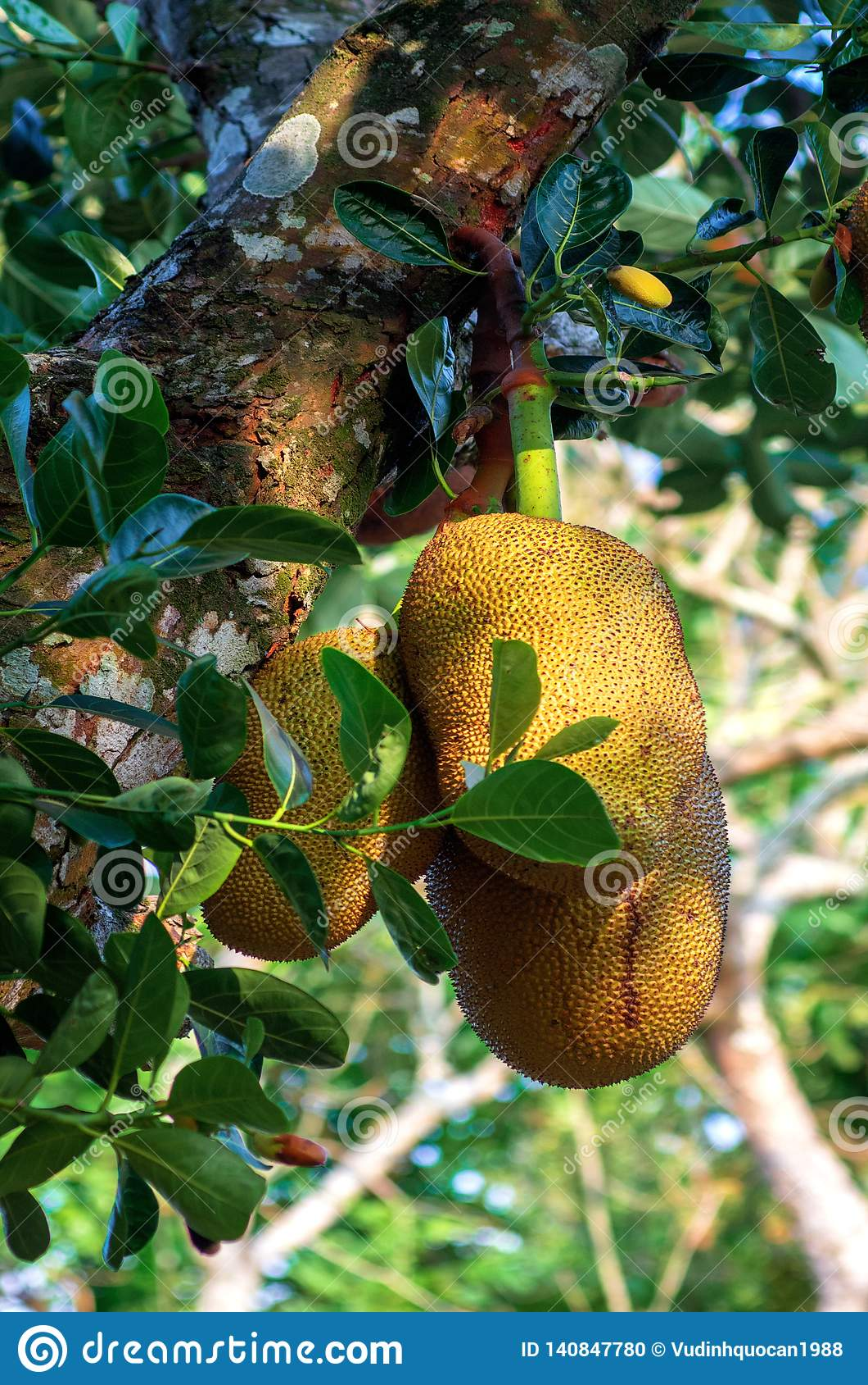 jackfruit from childhood to maturity