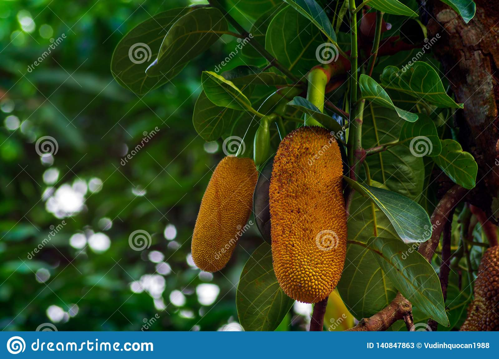 jackfruit from childhood to maturity